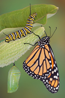 Fun article describes the Butterfly lifetime Cycle, features countless life pattern images and a coloring web page too!